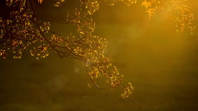 Golden foliage of tree on background of sunbeam stock video footage