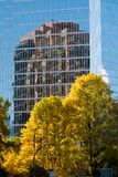 Golden foliage of tree contrasts sharply with reflection of modern building in background. Contrast is provided with the soft golden hues of tree foliage stock photo