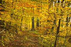 Golden footpath in the forest stock photo