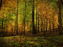 Golden Forest Stock Image