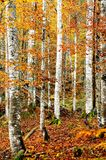 Golden forest. Autumnal golden forest with vibrant colors Stock Photo