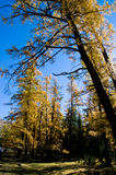 Golden forest Stock Photos