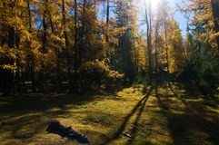 Golden forest Royalty Free Stock Photo