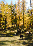 Golden forest Stock Images