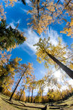 Golden forest Royalty Free Stock Photos