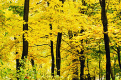 Free Golden Forest Stock Photography - 43574832
