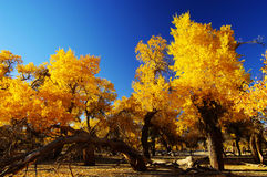 Golden Forest Stock Photo