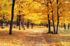 Golden forest in autumn season Royalty Free Stock Image