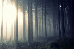Golden forest with fog and warm light Royalty Free Stock Photos