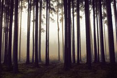 Golden forest with fog and warm light Stock Photography