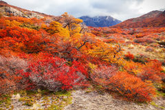 Free Golden Forest In Patagonia Stock Image - 78037841