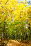 Golden forest at Oka Park. Oka Park , one hour from Montreal, is well known for its beautiful forests especially in Fall Royalty Free Stock Images
