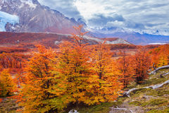 Golden forest in Patagonia. Golden forest trees near the Fitz Roy in autumn. Fitz Roy is a mountain located near El Chalten in the Patagonia, on the border Royalty Free Stock Photography