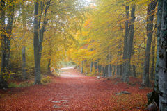 Golden forest path. A golden forest path during autumn season Stock Photography
