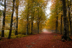 Golden forest path. A golden forest path during autumn season Royalty Free Stock Photo