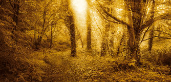 Golden forest at sunrise Stock Photo