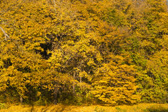 Golden forest trees scene Royalty Free Stock Images