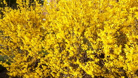 Golden Forsythia Bloom Stock Images