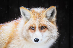 Golden fox in the snow Stock Image