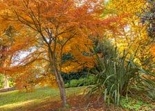 Golden fragile maple tree in a garden Stock Image