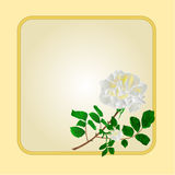 Golden frame with white rose vector Stock Photo