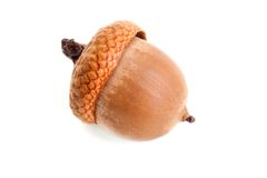 Golden fresh dried oak acorn Royalty Free Stock Photo