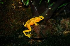 Golden frog stock images