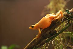 Golden Frog. Endangered Panamanian Golden Frog on a branch Royalty Free Stock Photo
