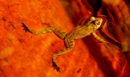 Golden frog. A golden green frog floating in the water with beautiful orange background reflections stock images