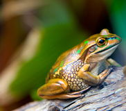 Golden frog. Making a statement with splashes of green across its golden skin Royalty Free Stock Images