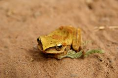 Golden frog on the sand Royalty Free Stock Image