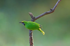 Golden-fronted Leafbird Stock Photos