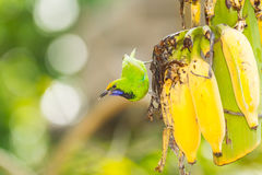 The Golden fronted Leafbird Stock Image