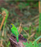 Golden-fronted leafbird on the branch Royalty Free Stock Photography