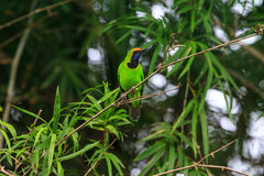 Golden-fronted leafbird on the branch Royalty Free Stock Image