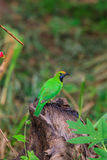 Golden-fronted leafbird on the branch Royalty Free Stock Images