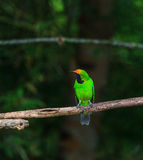 Golden-fronted leafbird on the branch Stock Photo