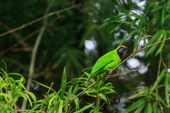 Golden-fronted leafbird on the branch Stock Photos