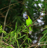 Golden-fronted leafbird on the branch Stock Images