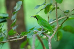 Golden-fronted leafbird on the branch stock image