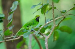 Golden-fronted leafbird on the branch royalty free stock photo