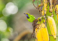The Golden fronted Leafbird Royalty Free Stock Photography