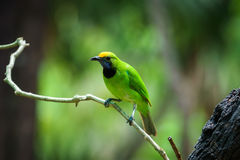 Golden-fronted Leafbird on leaf Stock Images