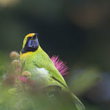 Golden-fronted leafbird in red powder puff tree Royalty Free Stock Images