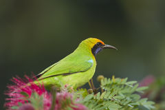 Golden-fronted leafbird in red powder puff tree. Golden-fronted leafbird (Chloropsis aurifrons) perched on powder puff stock photo