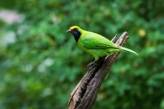 Golden-fronted Leafbird on thailand Royalty Free Stock Images