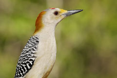 Golden-fronted Woodpecker. Alert Golden-fronted Woodpecker showing profile Royalty Free Stock Photography