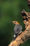 Golden-fronted Woodpecker Royalty Free Stock Photo