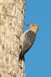 Golden fronted woodpecker Royalty Free Stock Photography