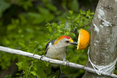 Golden-fronted Woodpecker eating an orange Stock Photo